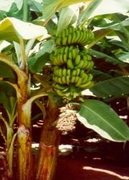 Banana orchard