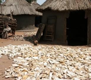 afrol News - Nigeria farmers double cassava yields
