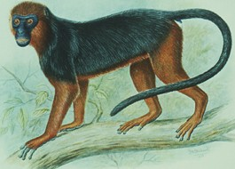 Miss Waldron's red colobus monkey (illustration)