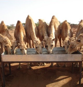 Camels drinking in Somaliland